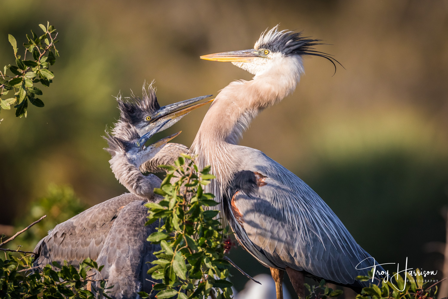 1 - Great Blue Herons, Everglades, Feb. 2019, img 149.jpg