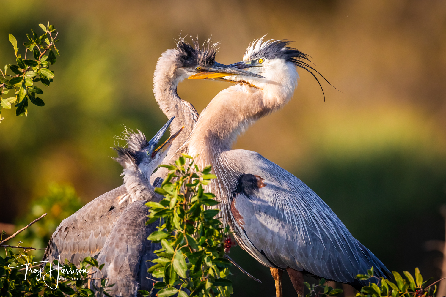 1 - Great Blue Herons, Everglades, Feb. 2019, img 147.jpg