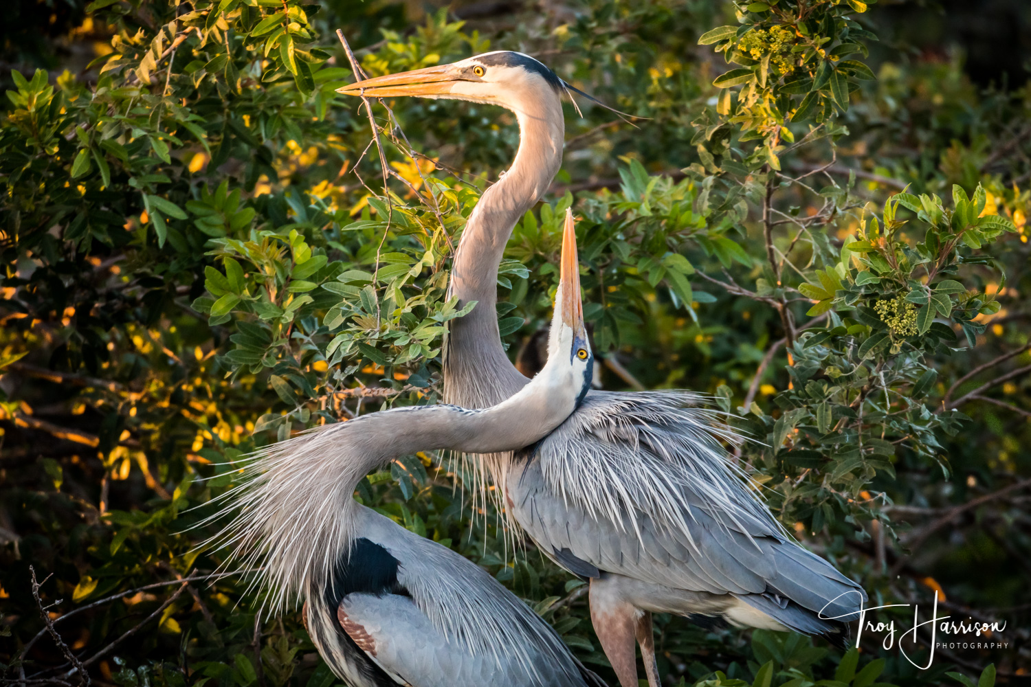 1 - Great Blue Herons, Everglades, Jan. 2019, img 2872.jpg