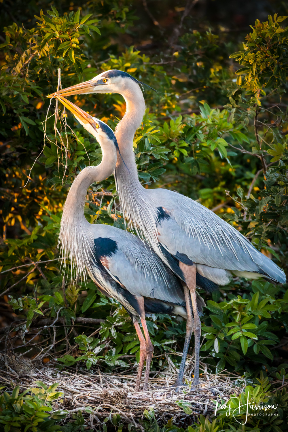 1 - Great Blue Herons, Everglades, Jan. 2019, img 2900.jpg