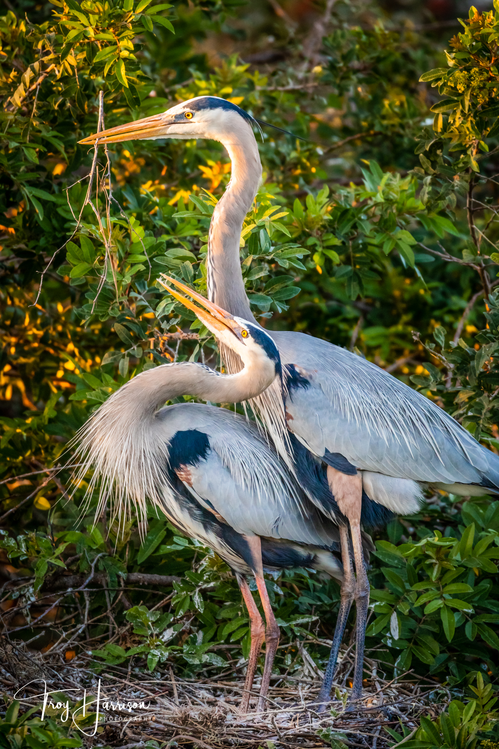 1 - Great Blue Herons, Everglades, Jan. 2019, img 2894.jpg