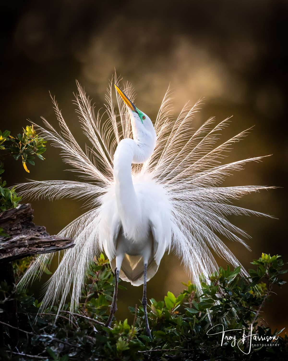 1 - Great Egret, Everglades, Jan. 2019, img 2021.jpg