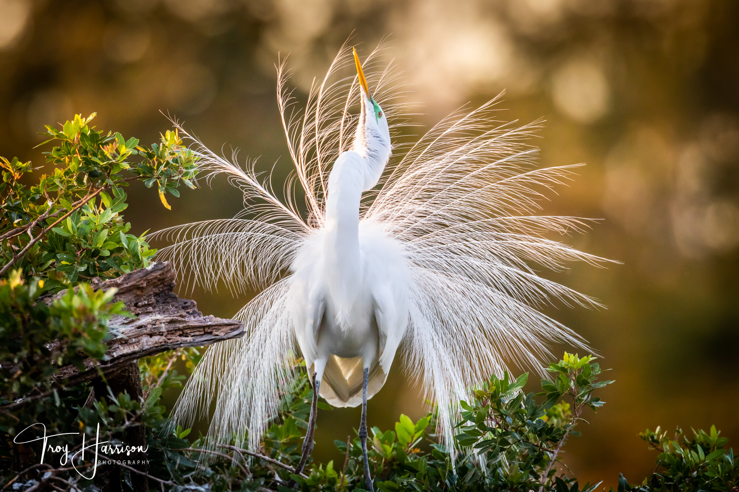 1 - Great Egret, Everglades, Jan. 2019, img 2045.jpg