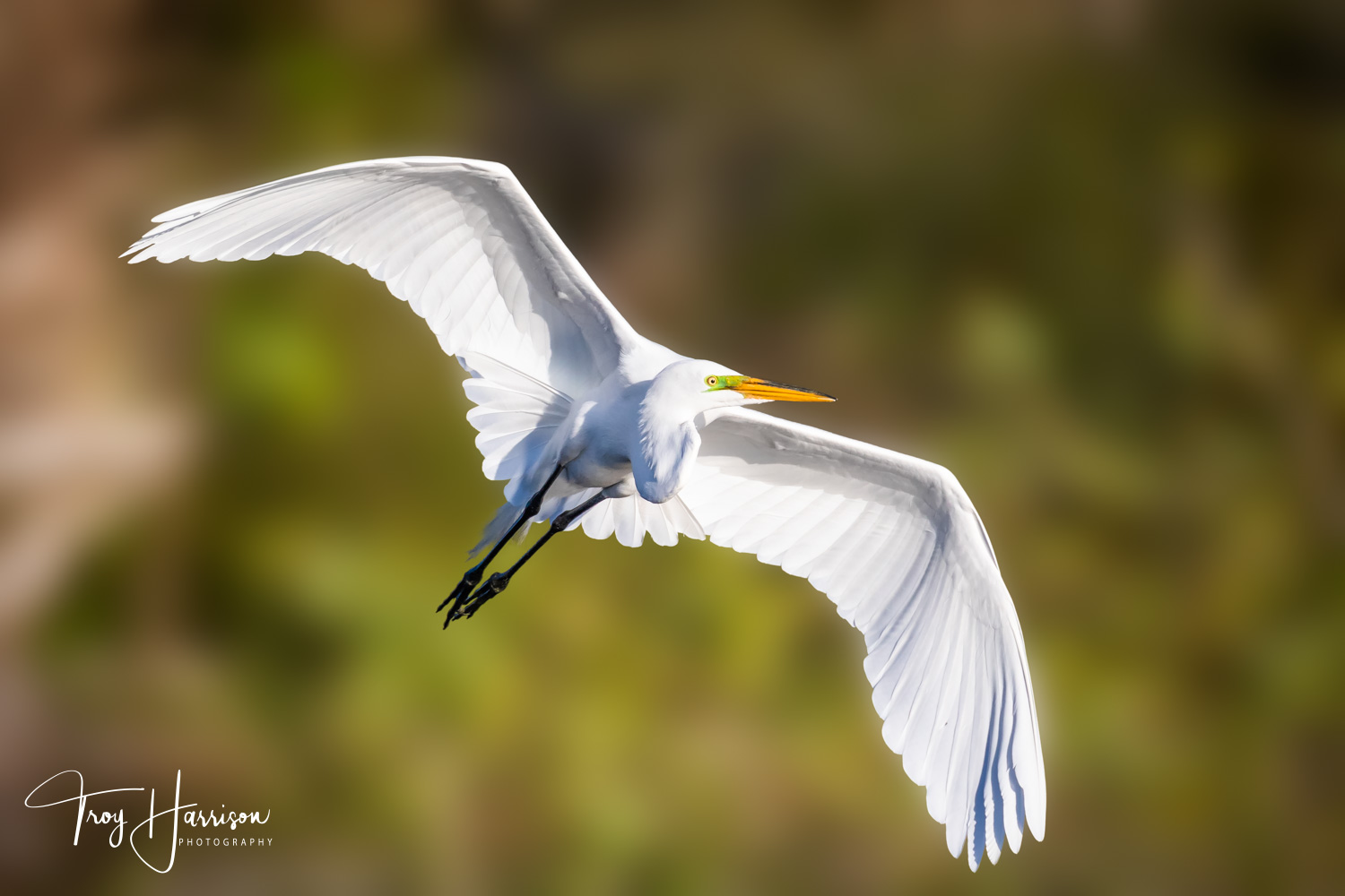 1 - Great Egret, Everglades, Jan. 2019, img 2543.jpg