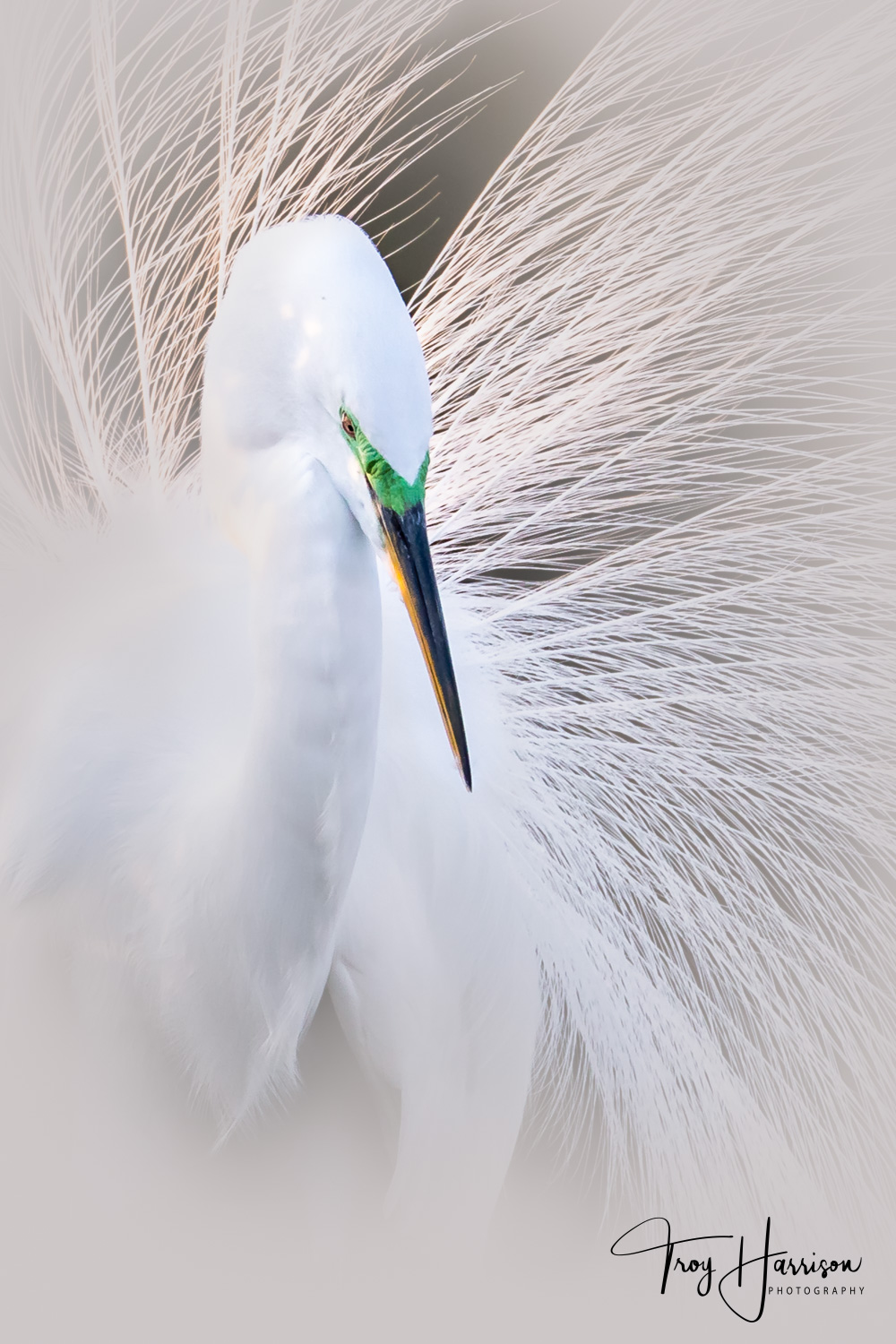 1 - Great Egret, Everglades, Jan. 2019, img 2094 white.jpg