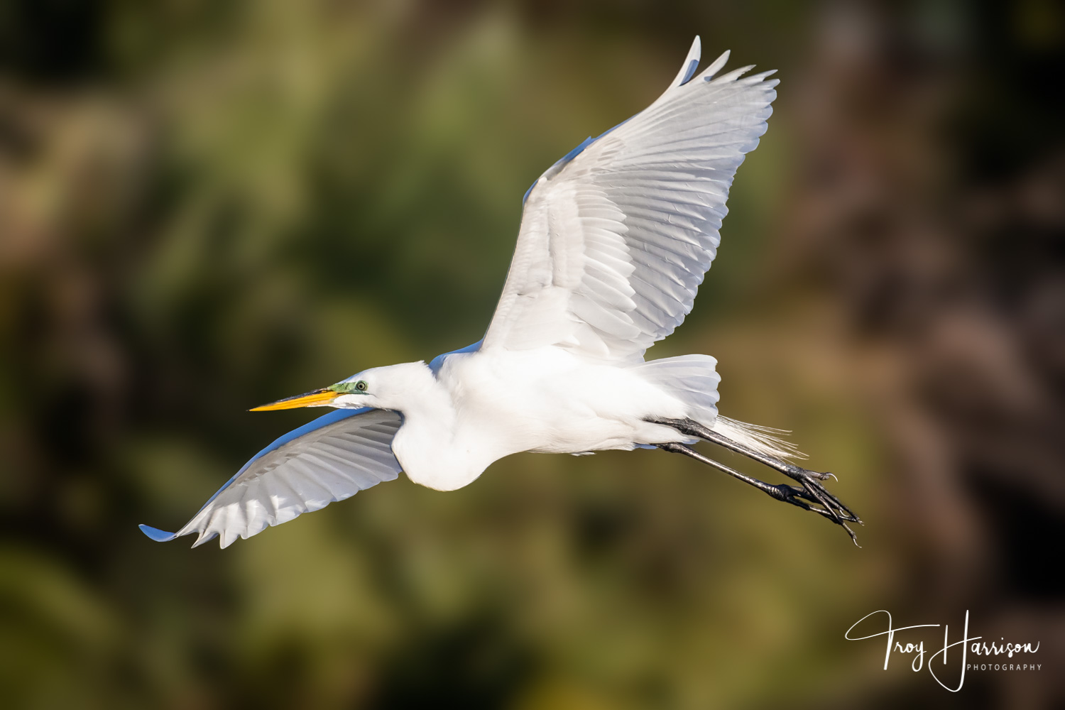 1 - Great Egret, Everglades, Jan. 2019, img 2550.jpg