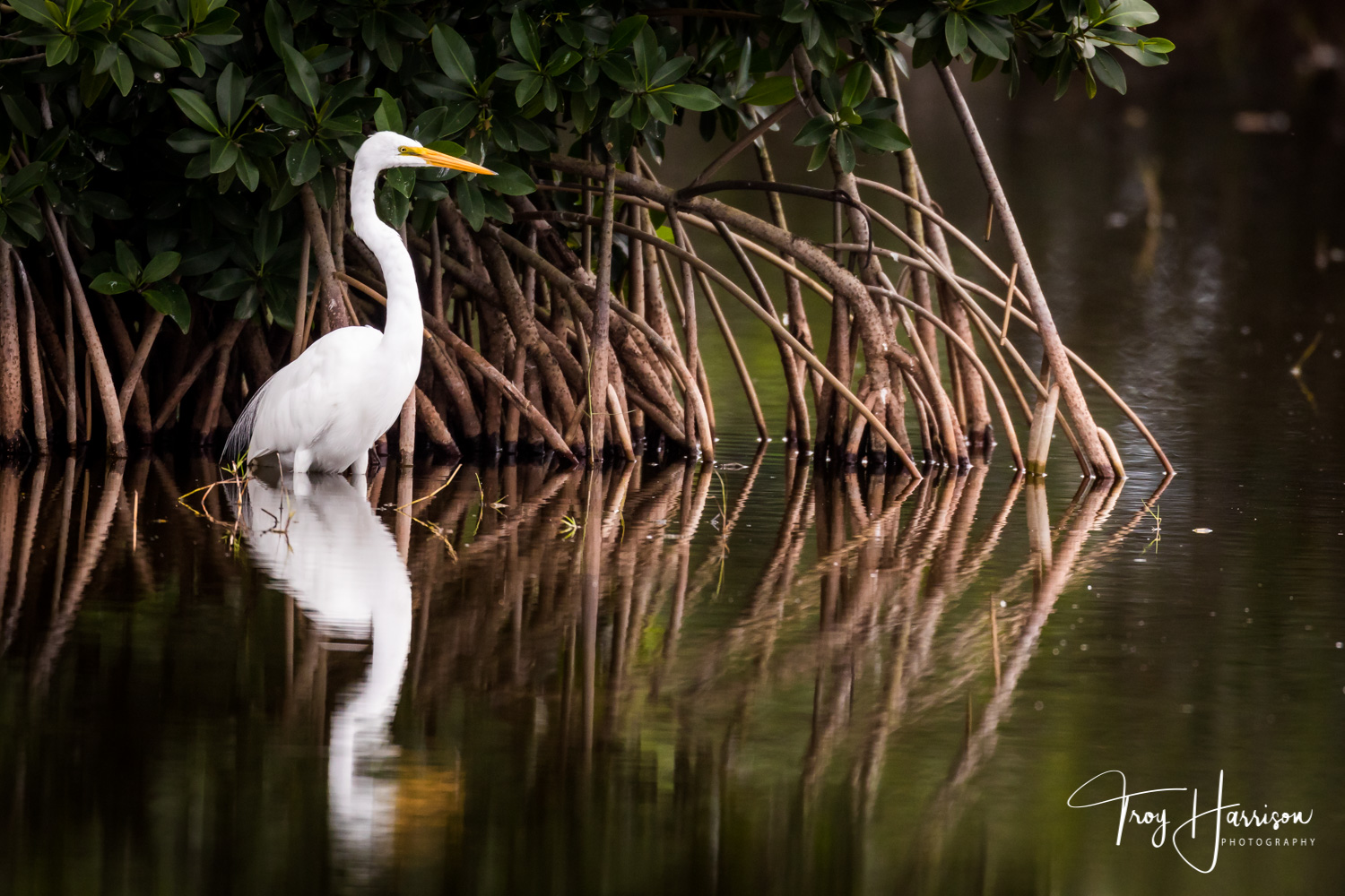 1 - Great Egret, Everglades, Nov. 2018, img 1429.jpg