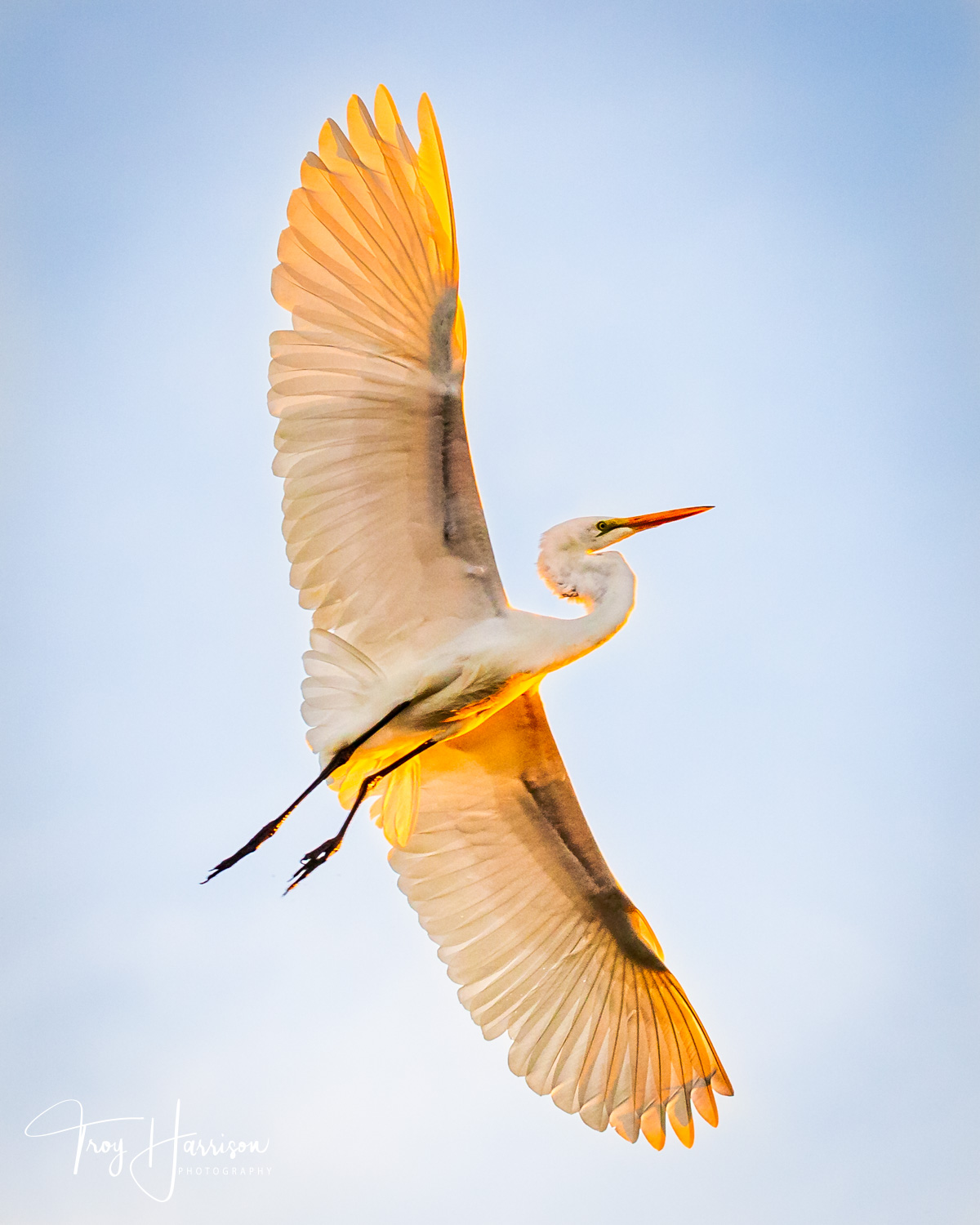 1 - Great Egret, Everglades, Nov. 2018, img 2523.jpg