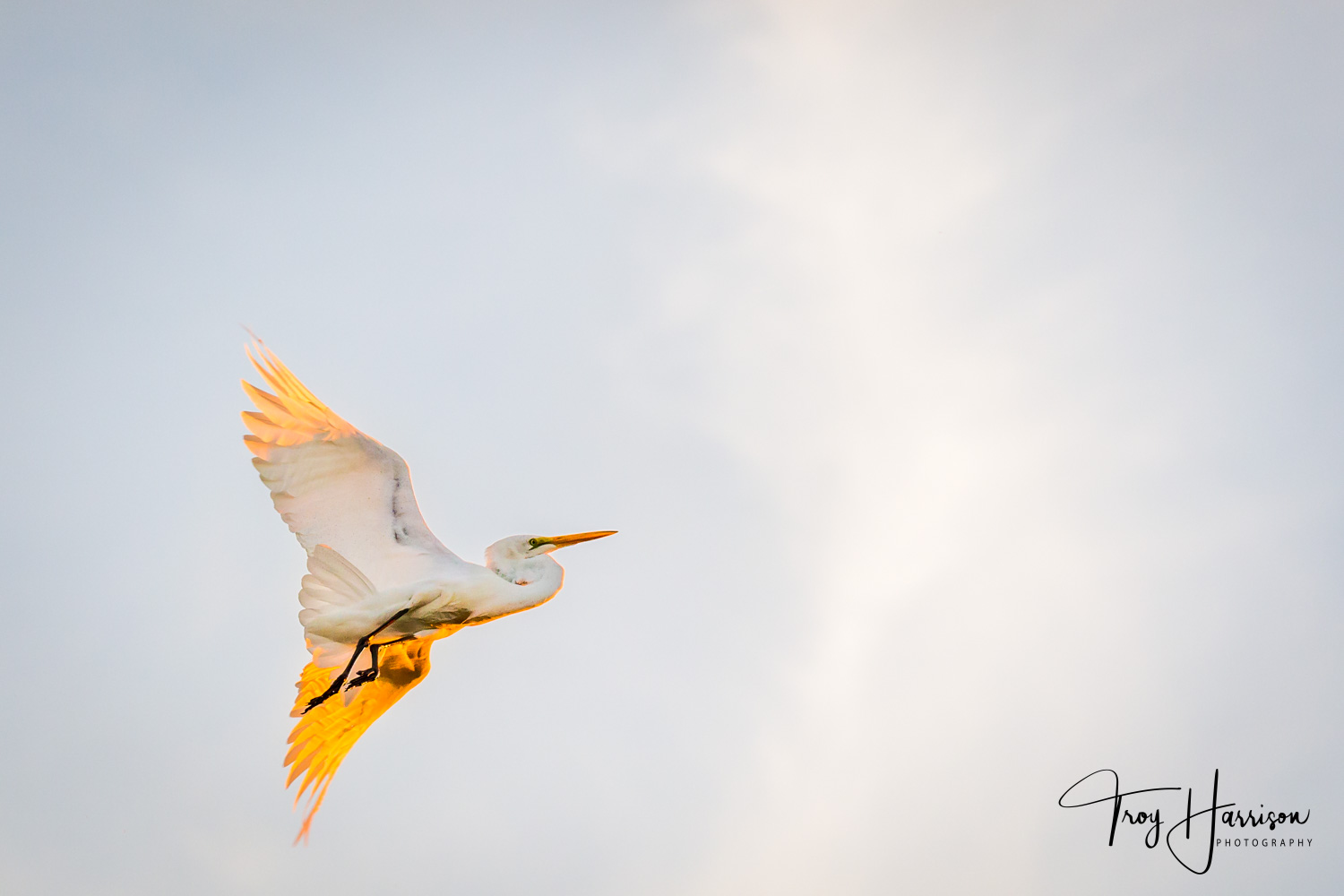 1 - Great Egret, Everglades, Nov. 2018, img 2524-2.jpg