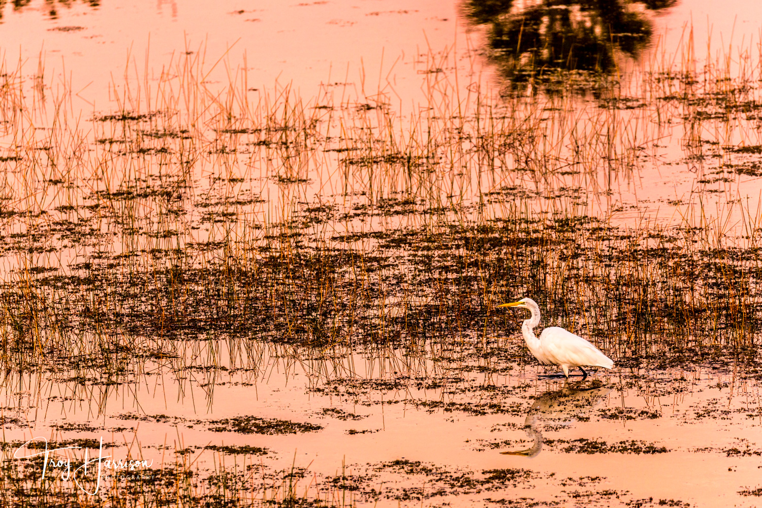 1 - Great Egret, Everglades, Nov. 2018, img 2316.jpg