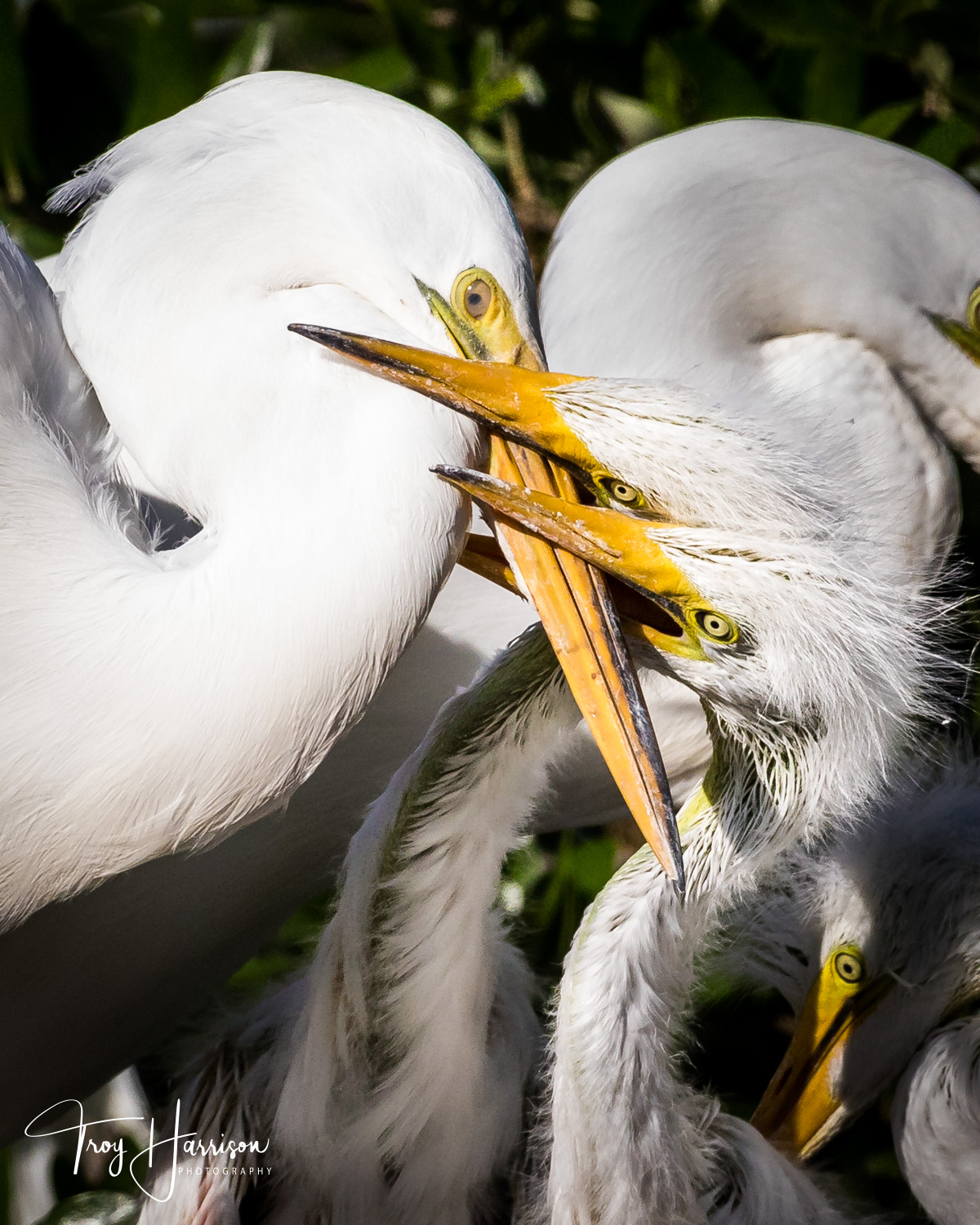 1 - Great Egrets, Everglades, April 2019, img 1093.jpg
