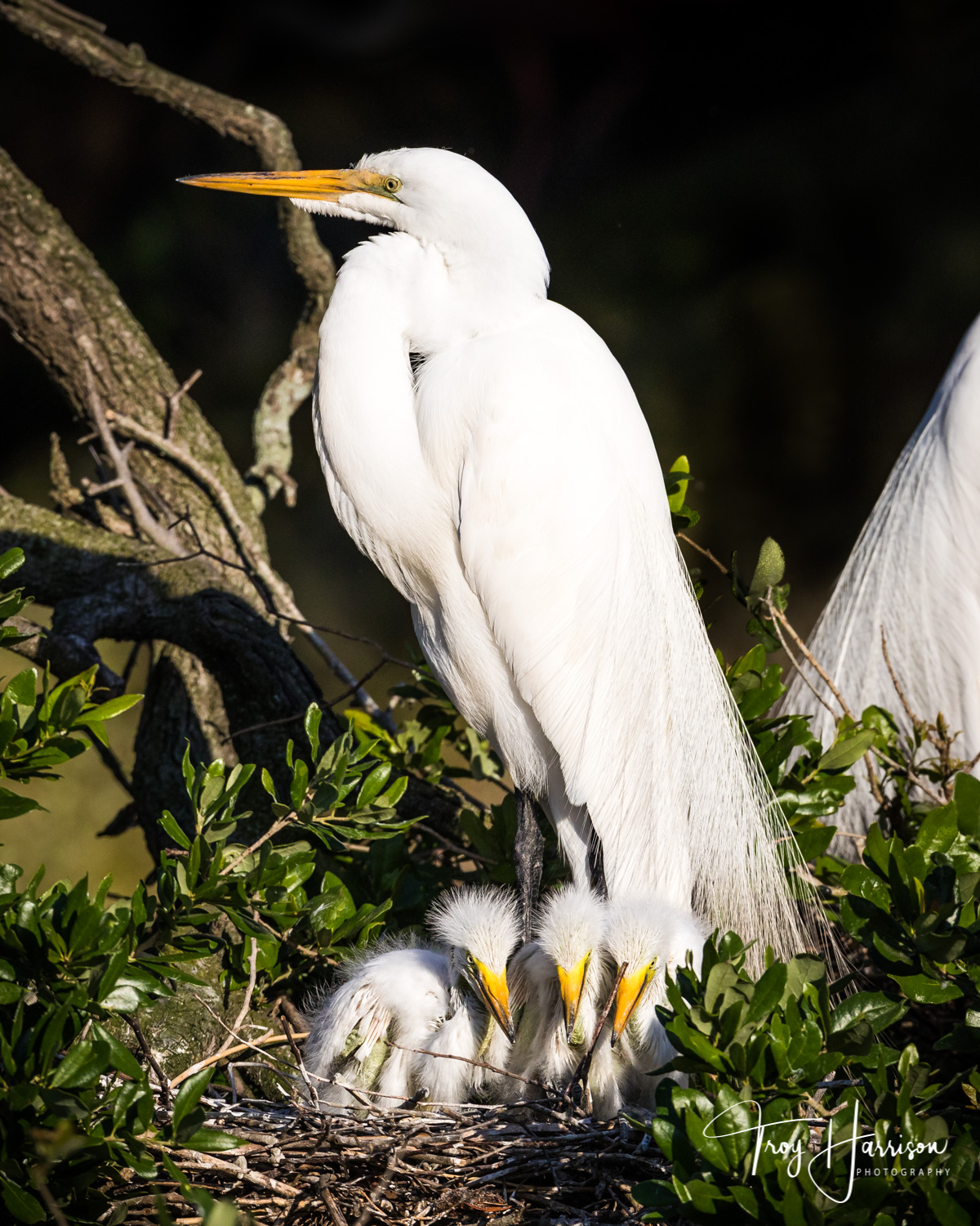 1 - Great Egrets, Everglades, April 2019, img 1248.jpg