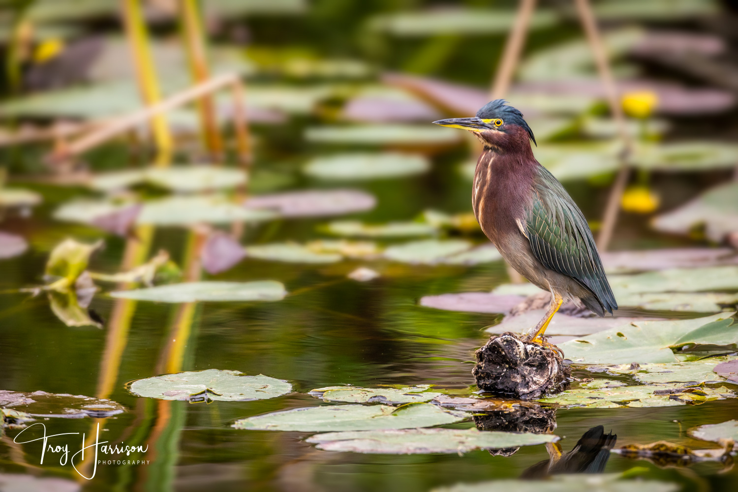 1 - Green Heron, Everglades, Nov. 2018, img 1667.jpg