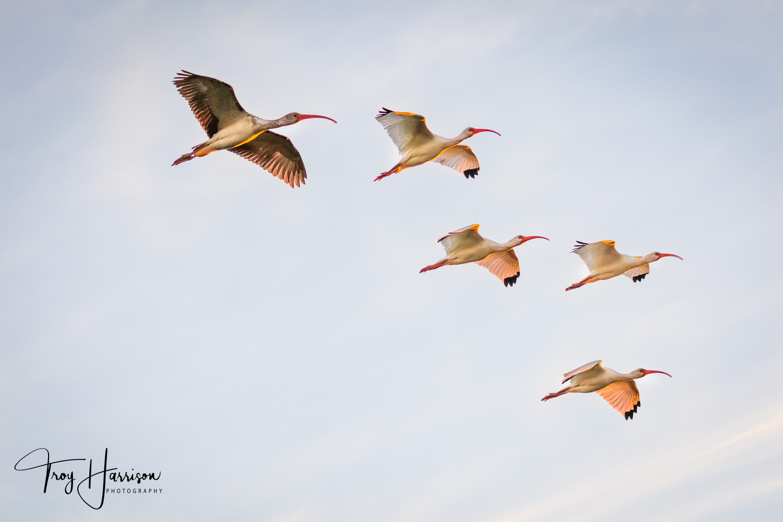1 - Ibis, Everglades, Nov. 2018, img 2535.jpg