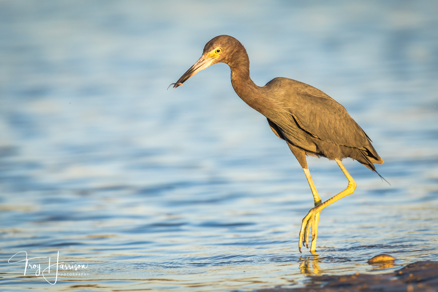 1 - Little Blue Heron, Everglades, Jan. 2019, img 138.jpg