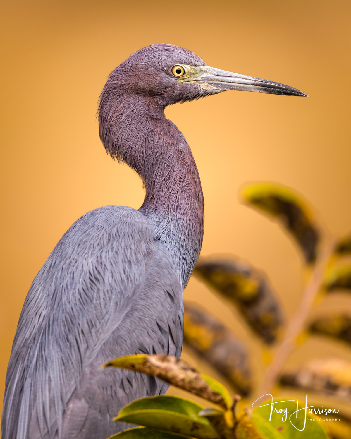 1 - Little Blue Heron, Everglades, Nov. 2018, img 1906.jpg