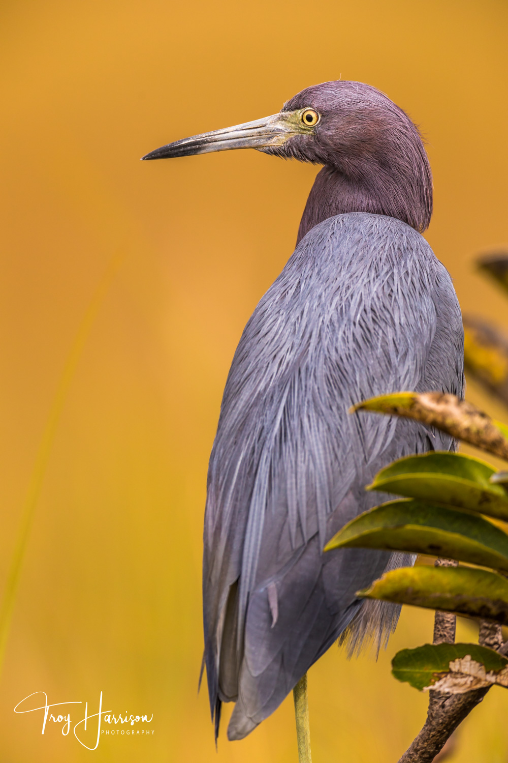 1 - Little Blue Heron, Everglades, Nov. 2018, img 1921.jpg