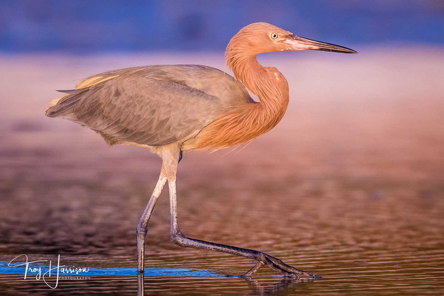 1 - Reddish Egret, Everglades, Jan. 2019, img 360.jpg