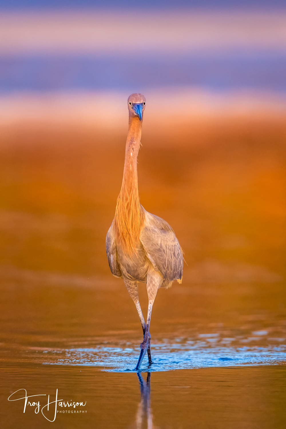 1 - Reddish Egret, Everglades, Jan. 2019, img 422.jpg