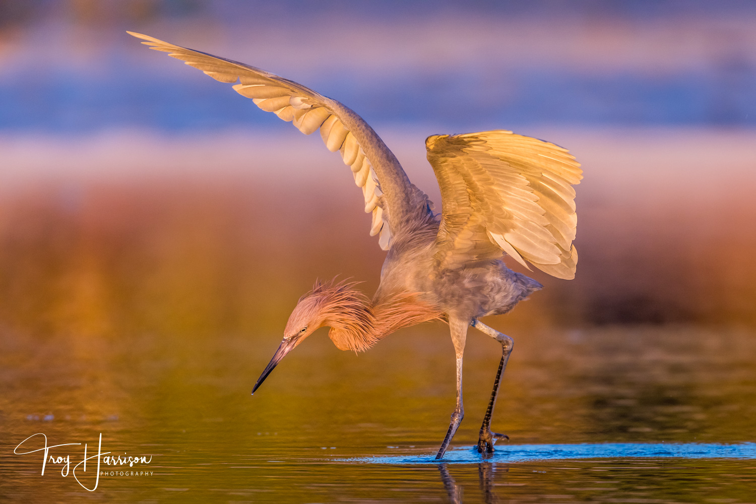 1 - Reddish Egret, Everglades, Jan. 2019, img 437.jpg