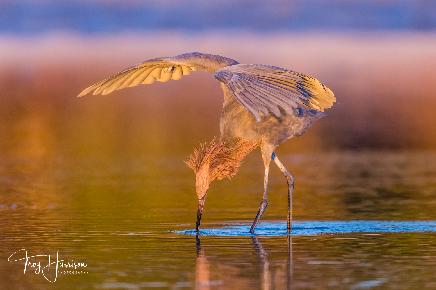 1 - Reddish Egret, Everglades, Jan. 2019, img 439.jpg