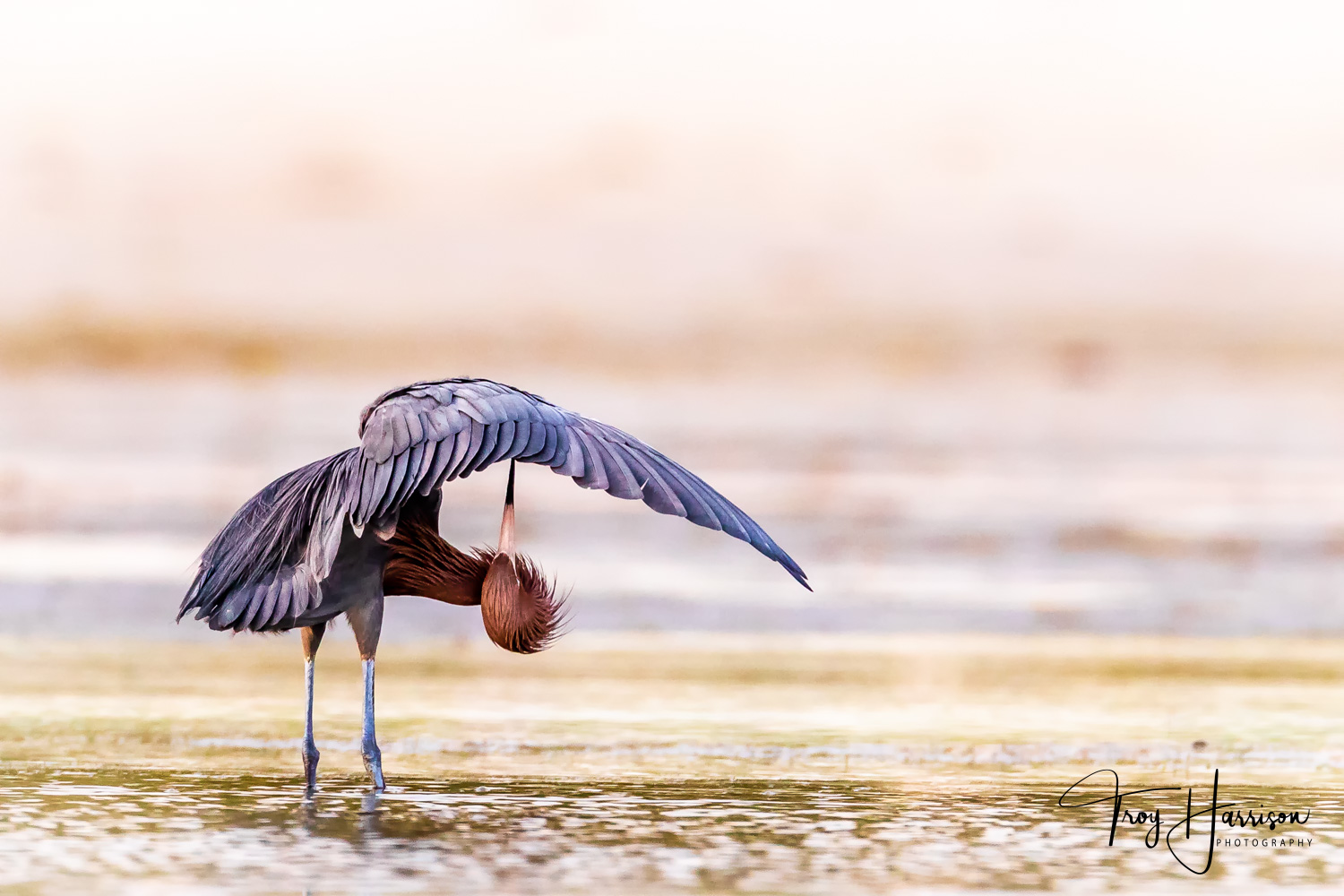 1 - Reddish Egret, Everglades, March 2019, img 484.jpg