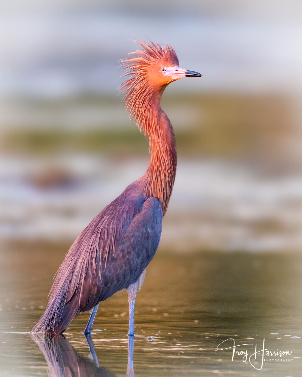 1 - Reddish Egret, Everglades, March 2019, img 1852.jpg