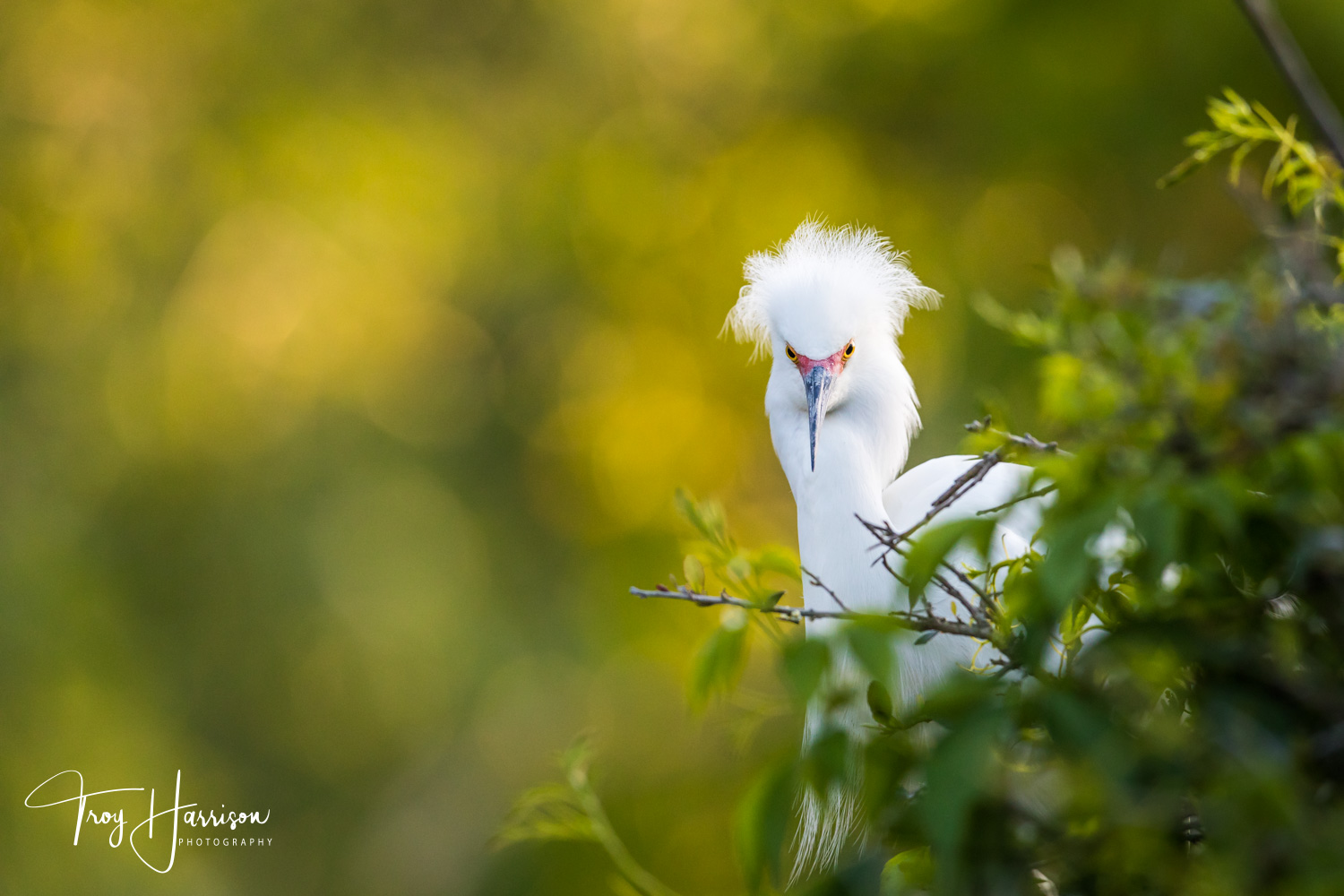 1 - Snowy Egret, Everglades, April 2019, img 1405.jpg