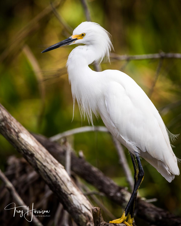 1 - Snowy Egret, Everglades, Nov. 2018, img 339.jpg