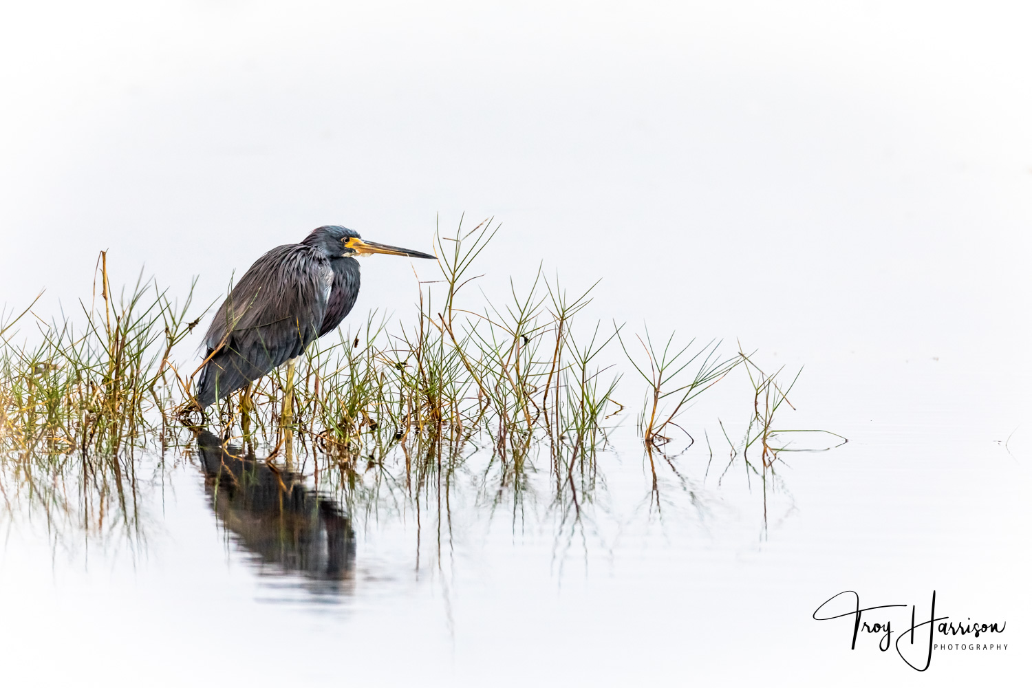 1 - Tri-Colored Heron, Everglades, Nov. 2018, img 480.jpg