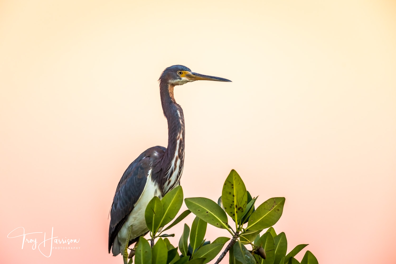 1 - Tri-Colored Heron, Everglades, Nov. 2018, img 1045.jpg