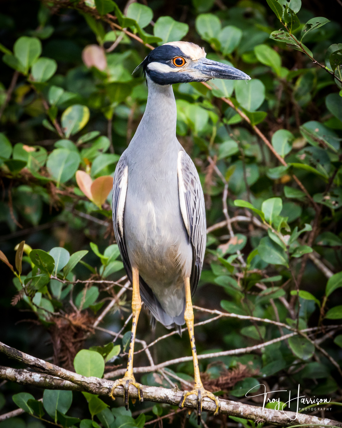 1 - Yellow Crowned Night Heron, Everglades, Jan. 2018, img 021.jpg