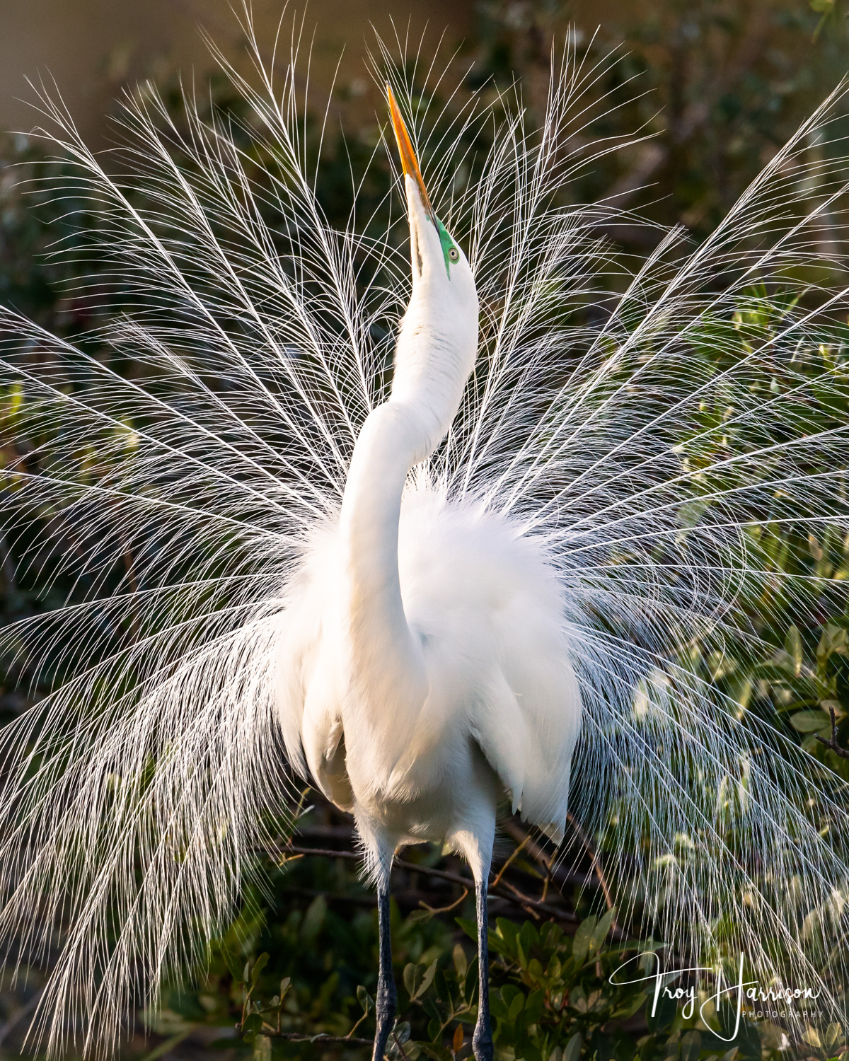 1 - Great Egret, Everglades, Jan. II 2019, img 295.jpg