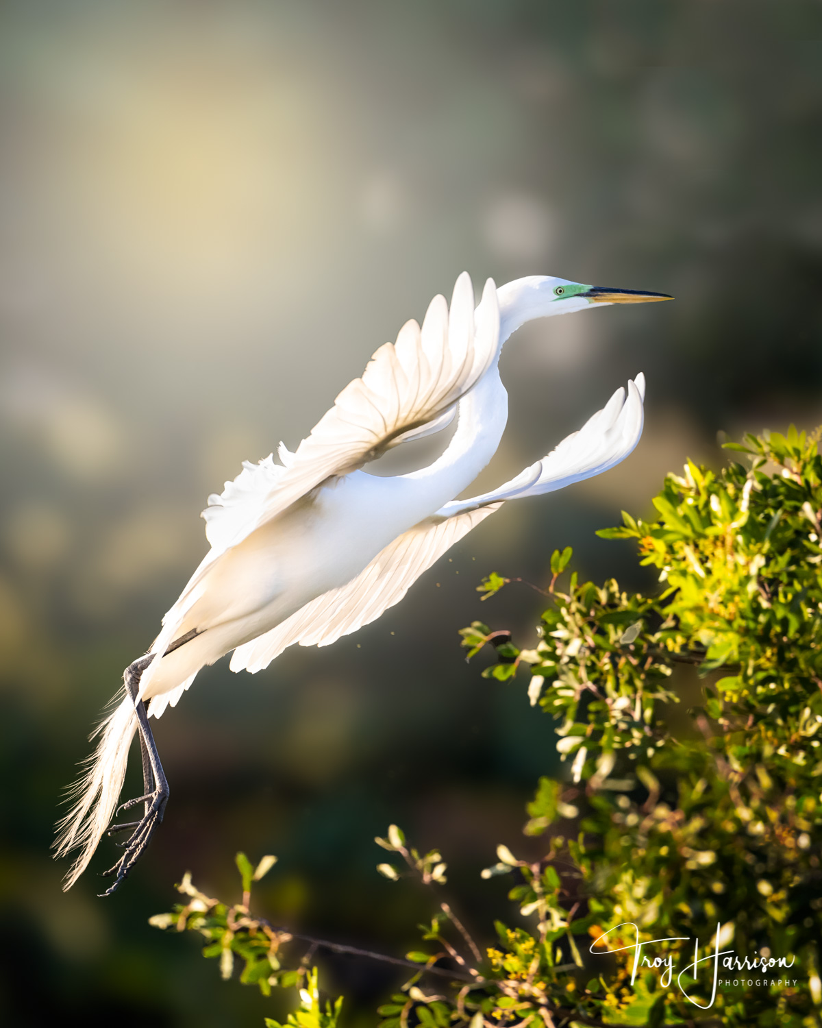 1 - Great Egret, Everglades, Jan. II 2019, img 371.jpg