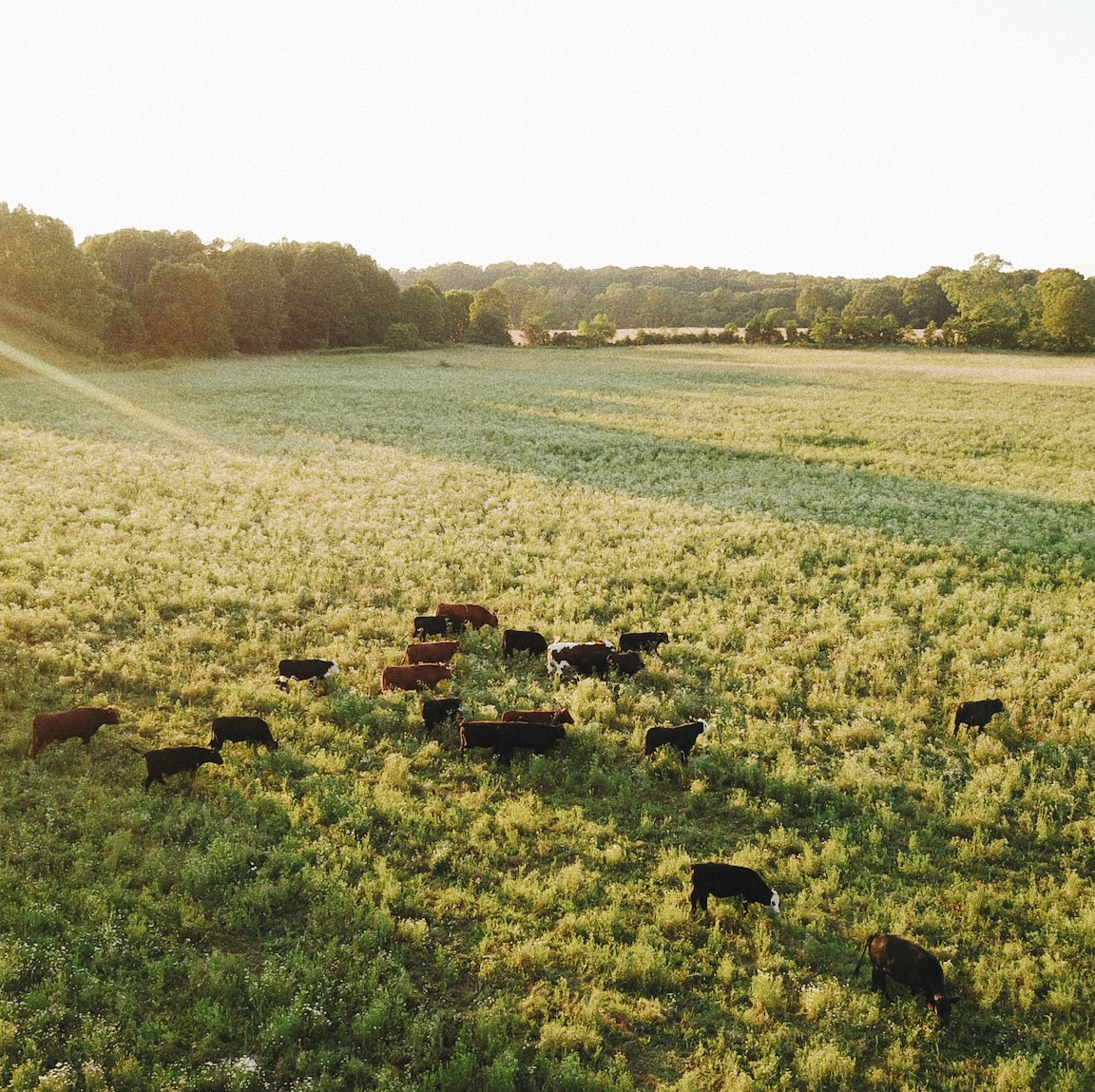 Our pasture-raised cattle, on our farm