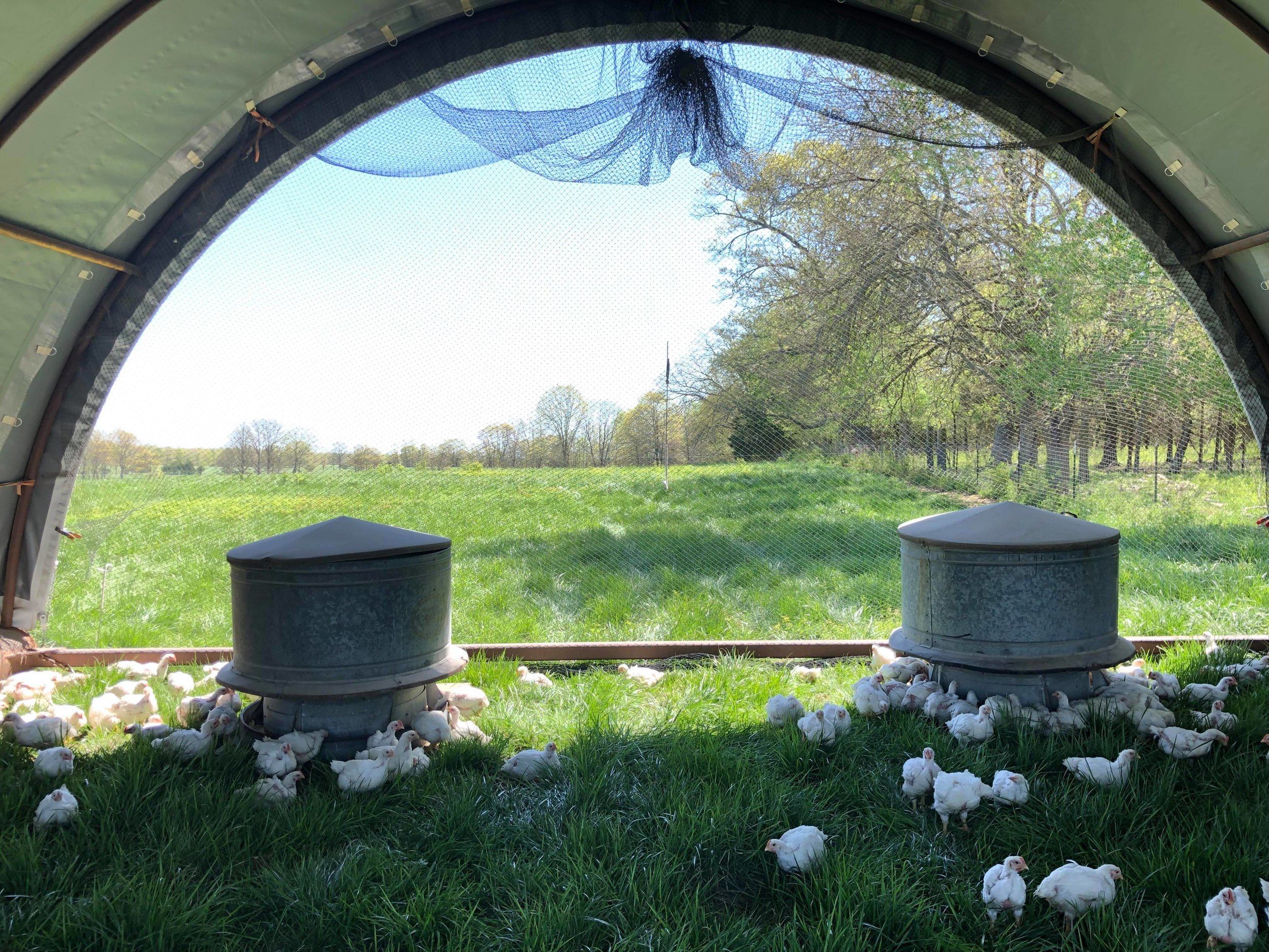 Our 2019 chickens in their hoop house, looking for the first bugs of the season.
