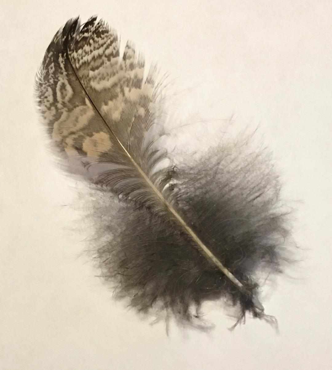 The feather of a Great Horned Owl. Raptors were cheated out of an easy meal.