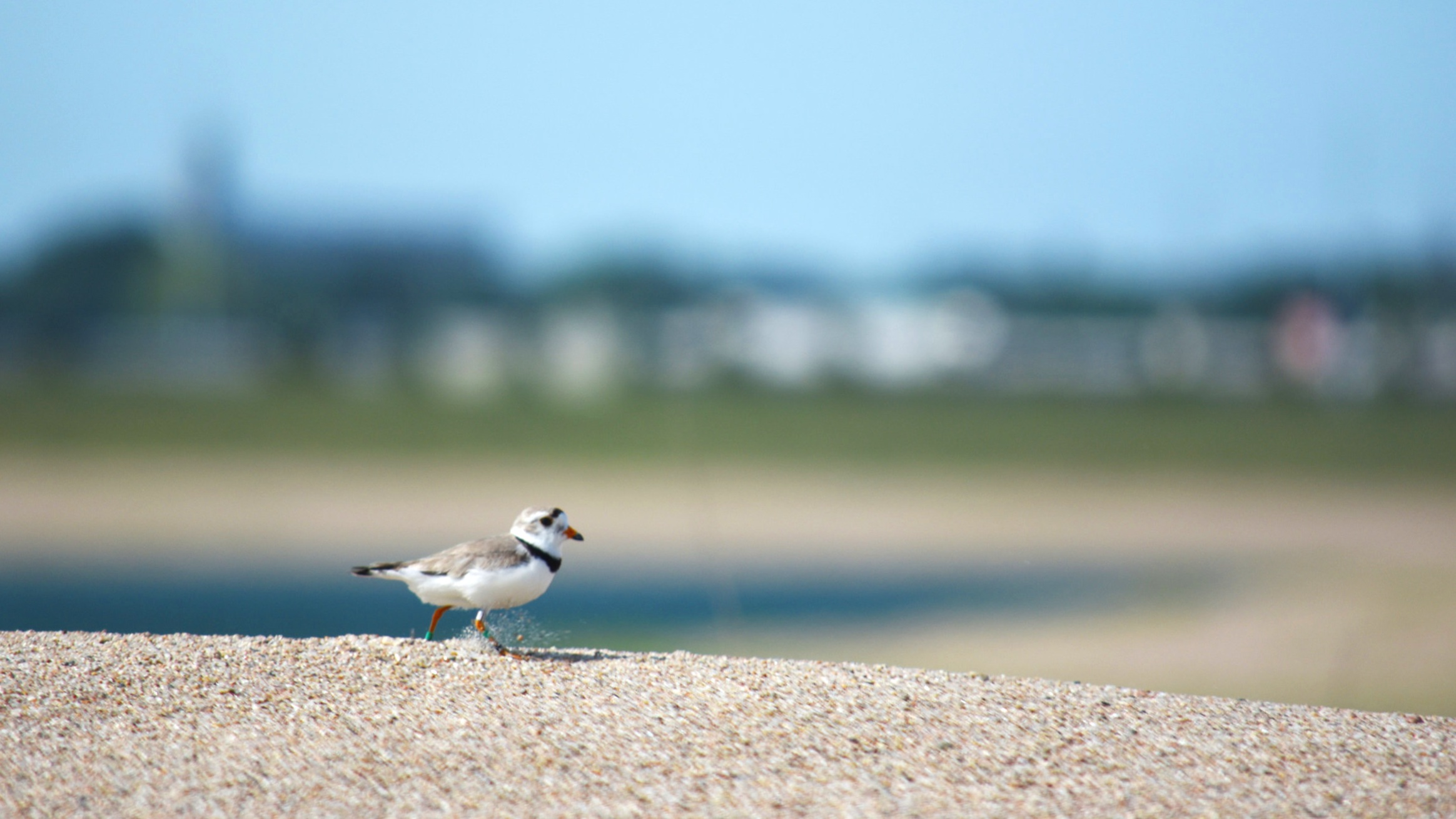 Photo by  BRADY JONES/Lyman-Richey Corporation  A piping plover scurries along some of the sand at Lyman-Richey Sand & Gravel's Fremont location.