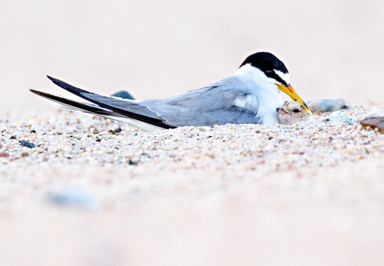 Interior Least Tern   (Sternula antillarum athalassos)   The interior least tern is the smallest tern species in North America and was called a sea swallow because of its delicate flying style.  Wingspan:  About 20 inches  Lifespan:  22-25 years  Number of eggs:  2-3  Nesting Habitat:  Historically, lake and river sandbars; today industrial sandpits, lake-shore housing developments, and reservoir shorelines. Terns nest close to each other, forming a kind of colony, which they fiercely protect by dive-bombing and shrieking at intruders. Chicks leave the nest after a couple of days and can fly in about three weeks.  Wintering grounds:  Central and South America  Diet:  Small fish, small insects