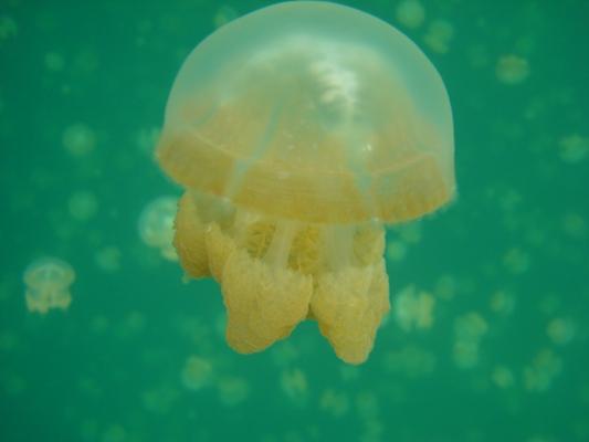 Jellyfish Lake; Photo by David Shea