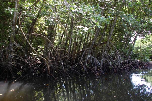 Cutting through the mangroves