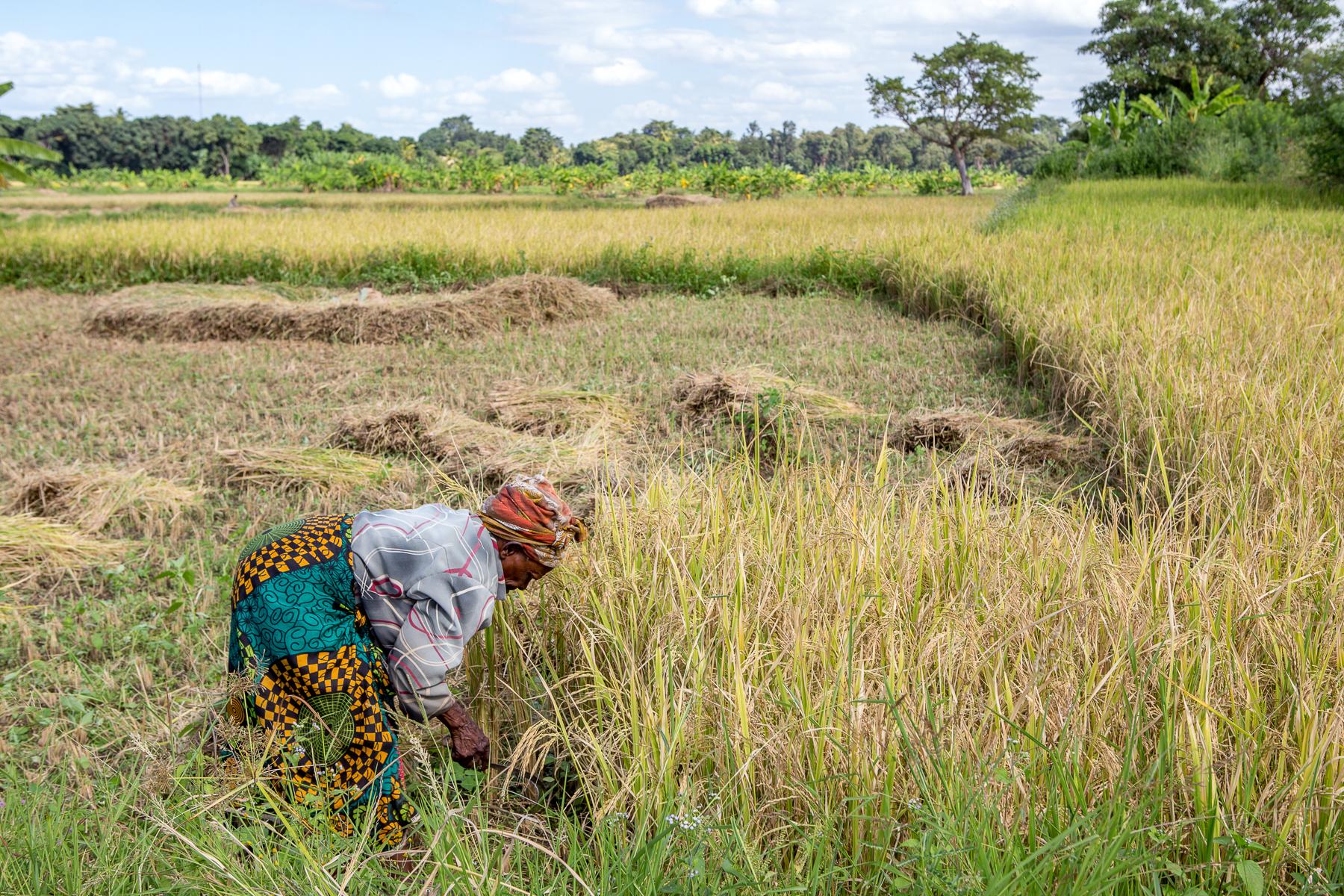 rice_fields_harvest_kikavu_tanzania