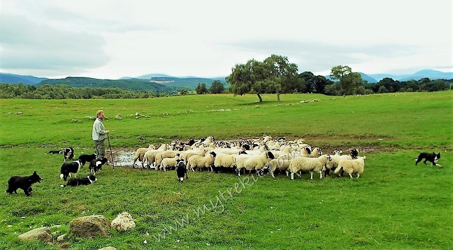 Neil showed the audience his beloved sheepdogs herding these sheep from approximately 500+ feet away.