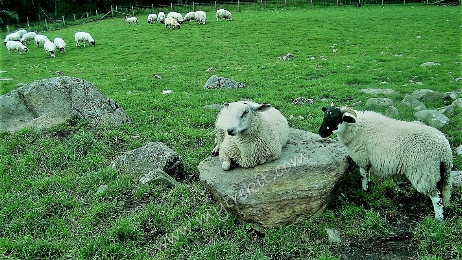 A sheep's respite from being herded.