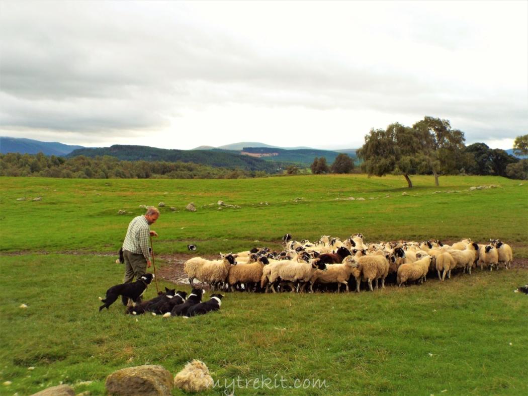 Sheepdog herding demonstration.JPG