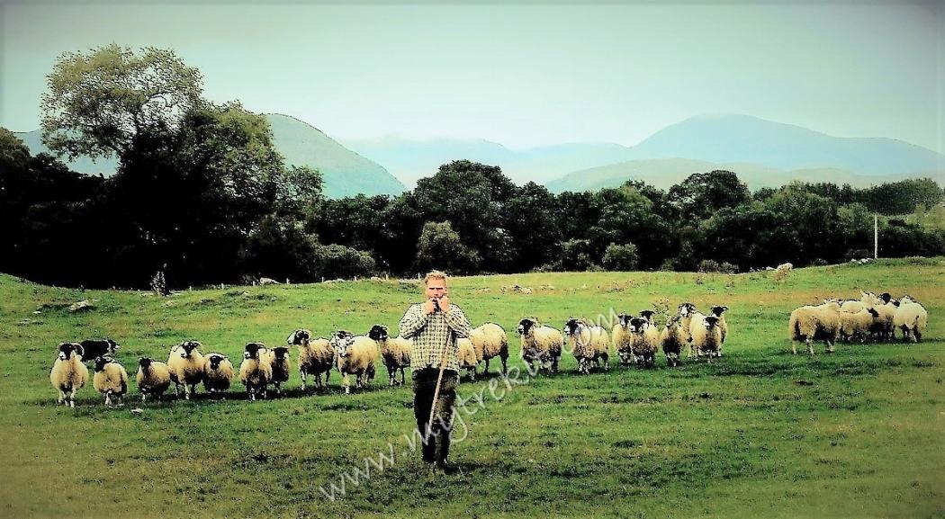Working Sheepdogs(4).JPG