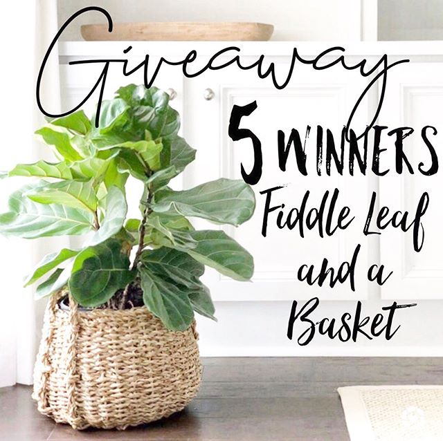 ⭐️Like this photo and head to 👉🏼@thegivingcollection to enter. It takes just 30 seconds to enter! . . ⭐️I've teamed up with some friends to gift FIVE lucky followers a live fiddle leaf and basket from World Market! . ⭐️CASH OPTION IS AVAILABLE⭐️ . . . ⭐️Closes Saturday 8/24 9pm est. This is not sponsored, endorsed or affiliated with Instagram, Amazon or World Market. Open to anyone 18 years of age or older. Winner must not be private and will be selected and notified by 8/25 by 9 pm est. Winnings will be sent upon proof of a valid ID. 📸@artbywarner . . . . . . . #plantmama #houseplants #homedecor #kismetcheckoutmyhouse #myinteriorstyle #farmhousehome #fiddleleaffig #plantsofinstagram #plantsmakemehappy #homesweethome #midcenturymodern