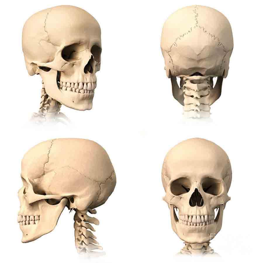 skull multiple.jpg
