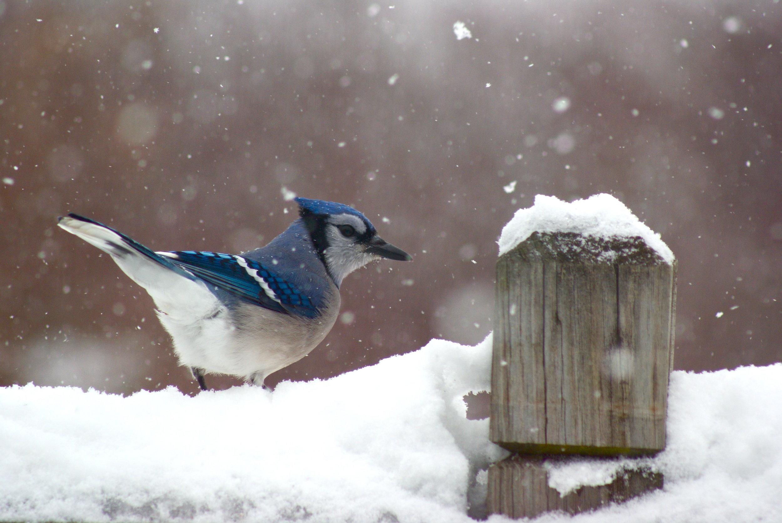 Snowy Blue Jay