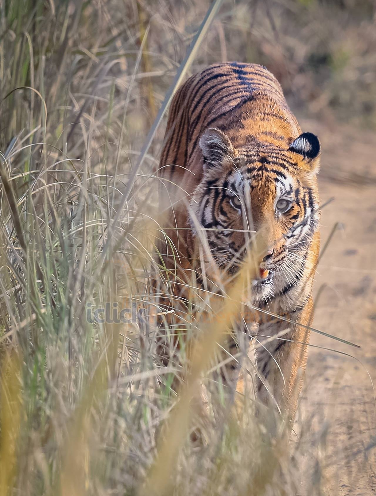 Recovering the World's Tigers -